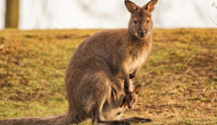 Canguro y su bebé. Vivíparos.