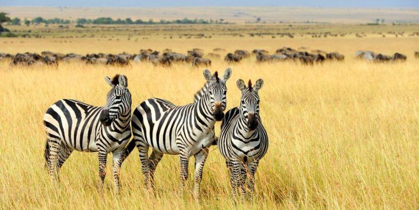 cebras herbivoras