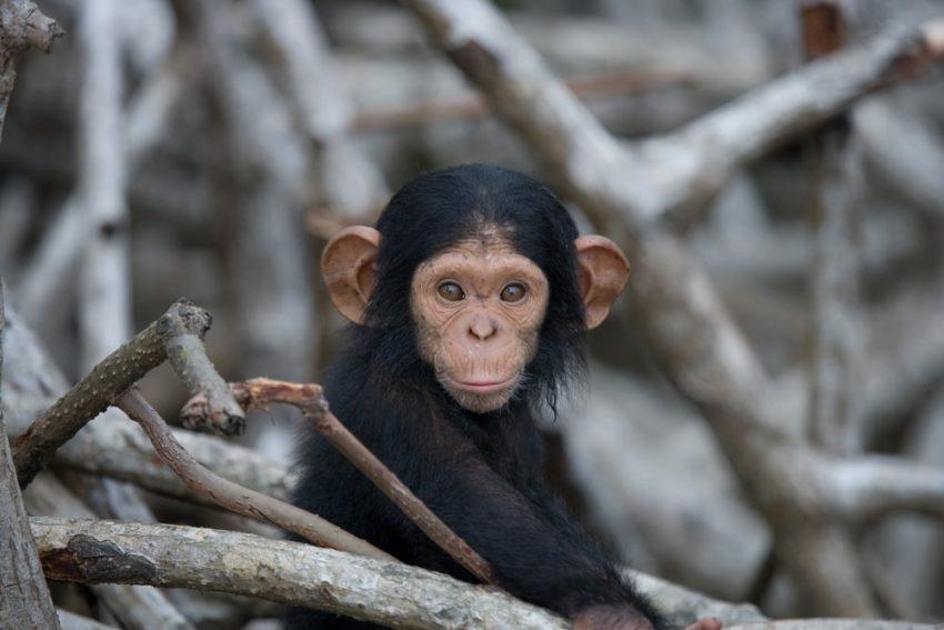 chimpance viviparos