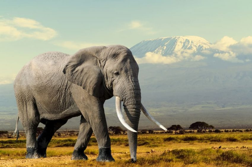 elefante herbivoro