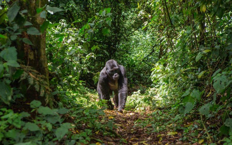 gorila - animales terrestres