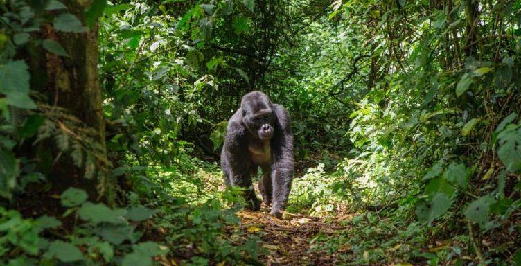 gorila - animales frugivoros