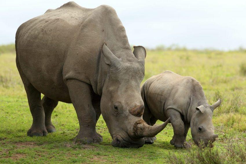 rinocerontes herbivoros