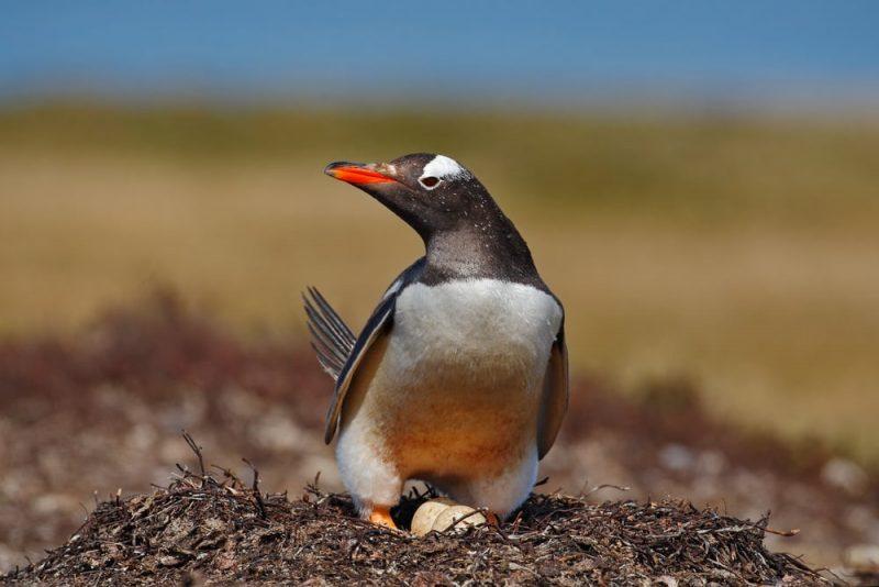 pinguino huevos