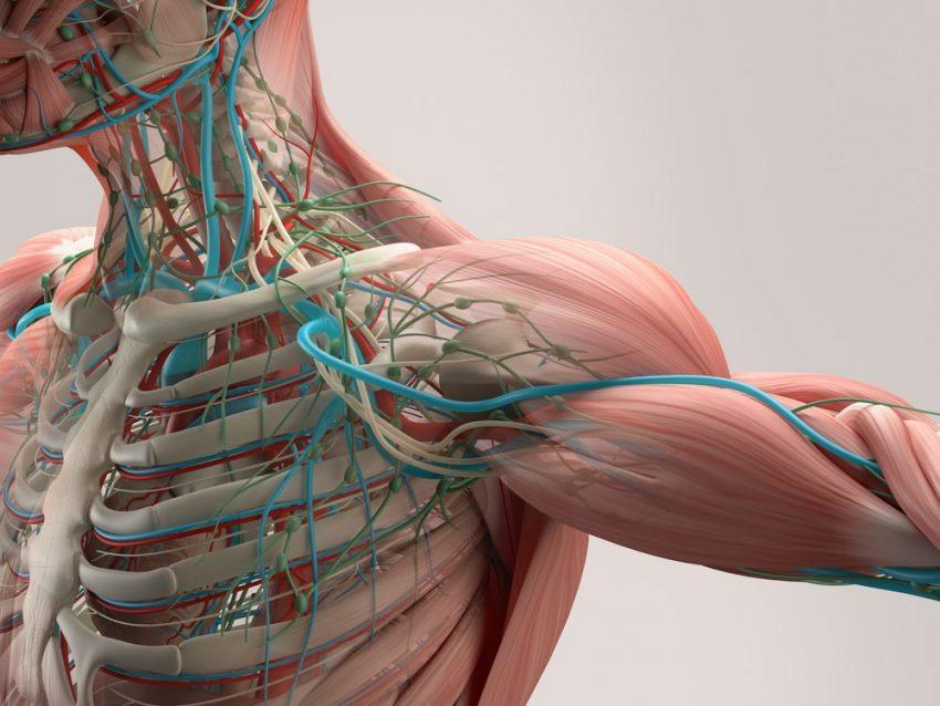 Anatomía. Cuerpo Humano.