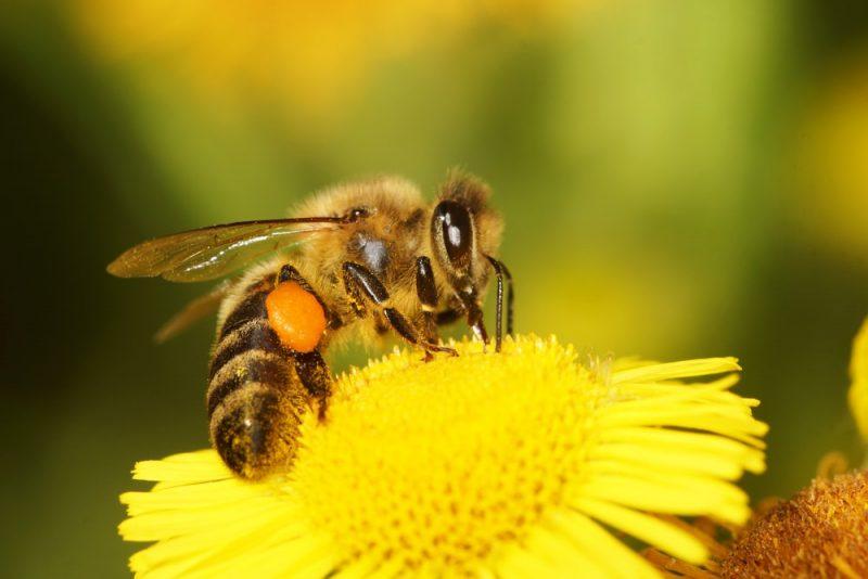 abejas - apicultura