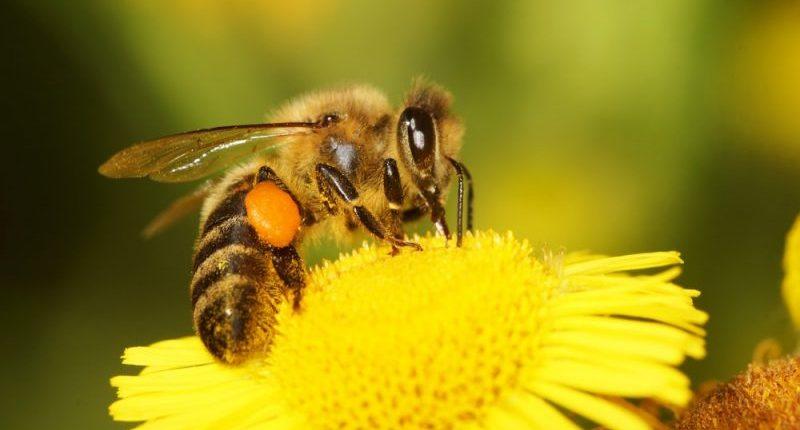abejas - invertebrados