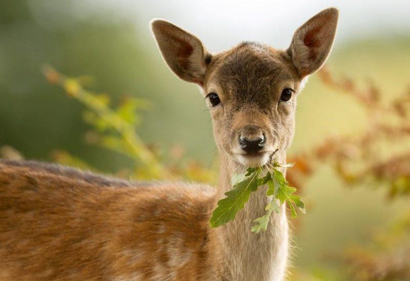 ciervo - rumiantes