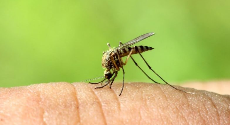 mosquitos - animales perjudiciales