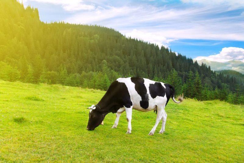 vaca - heterotrofos