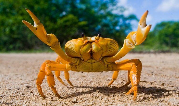 cangrejo animales artropodos