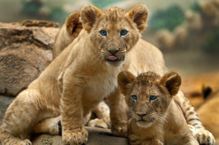 leones cachorros - cuadrupedos