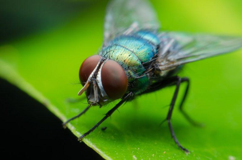 mosca - animales aeroterrestres
