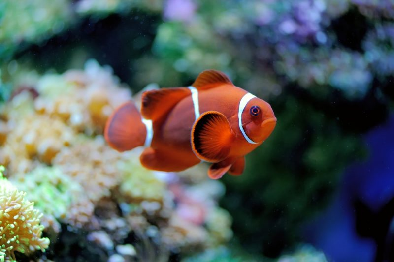 pez nemo - vertebrados