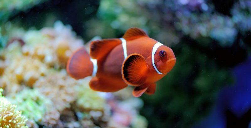 pez nemo - animales acuaticos