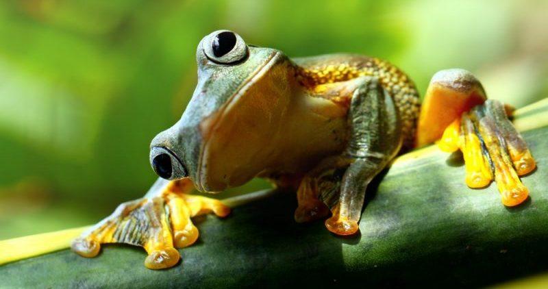 rana - anfibios