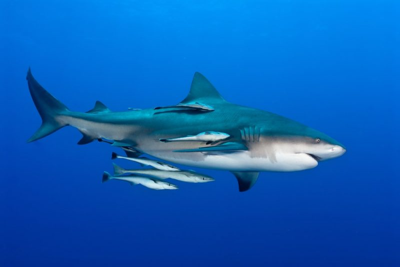 tiburon y rémoras - comensalismo
