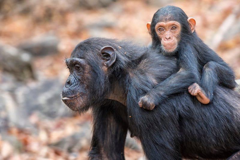 reino animal - chimpances