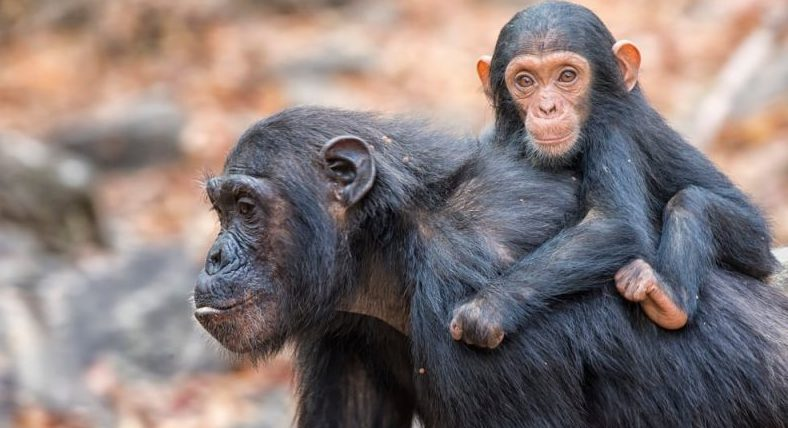 vertebrados chimpances, madre con bebe
