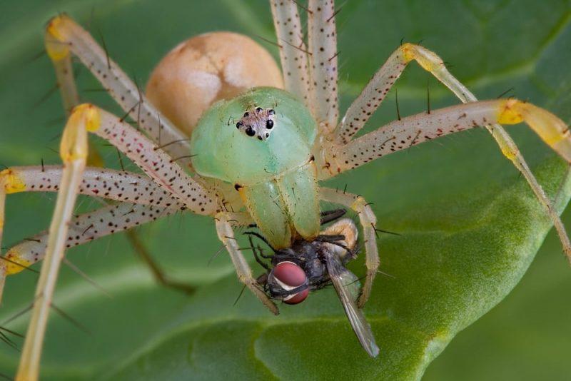 araña cazando - depredador y presa