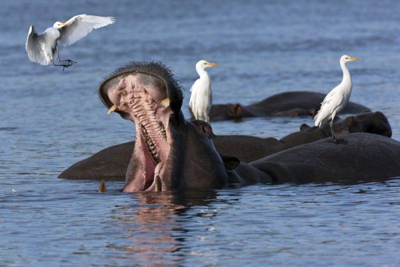 hipopotamo y aves - mutualismo