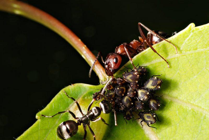 hormigas y pulgones - mutualismo