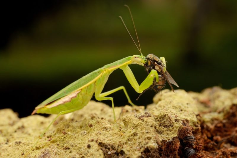 mantis - cadena trofica