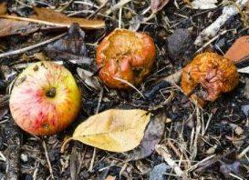 manzanas - proceso de descomposicion