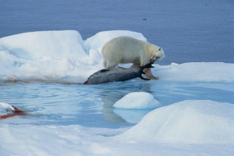 oso polar cazando - depredación