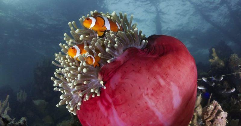corales - hermafroditas