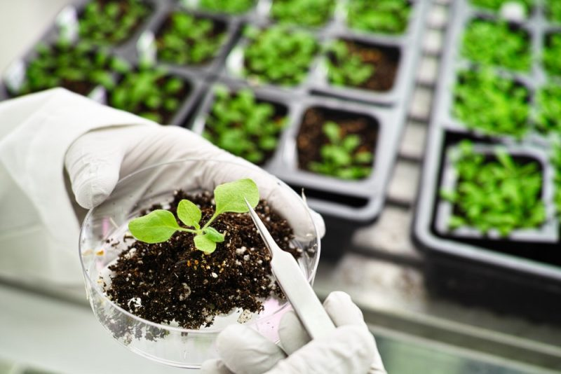 plantas transgenicas - laboratorio