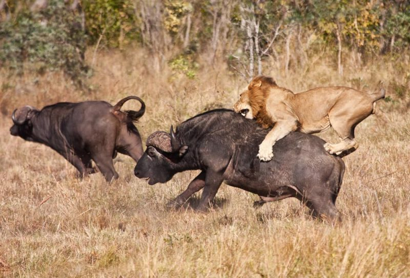 depredación león y búfalo
