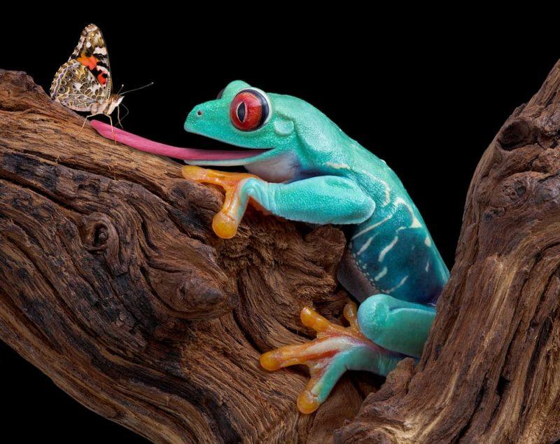 ranas depredadores de mariposas