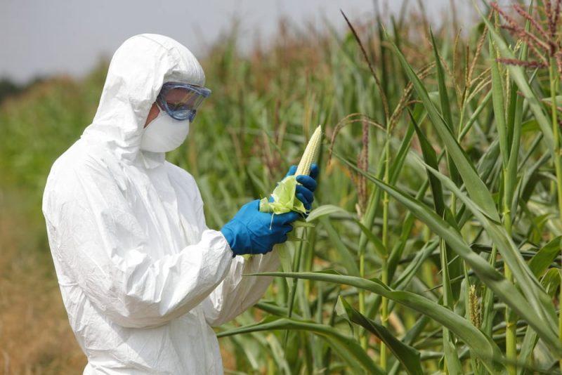 Selección artificial: modificación genética del maíz