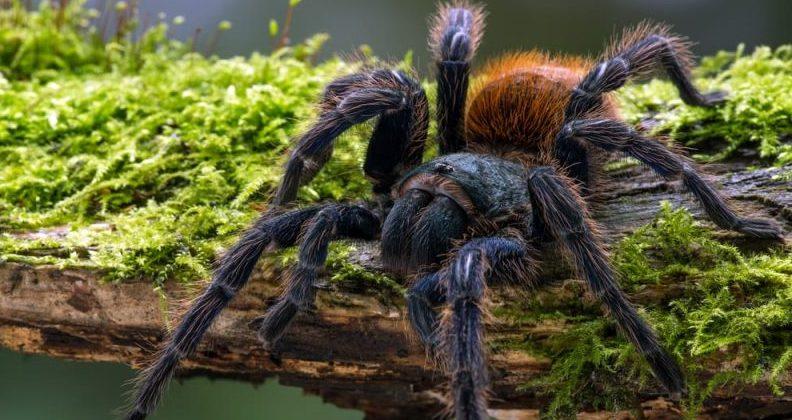 tarantula - respiración traqueal