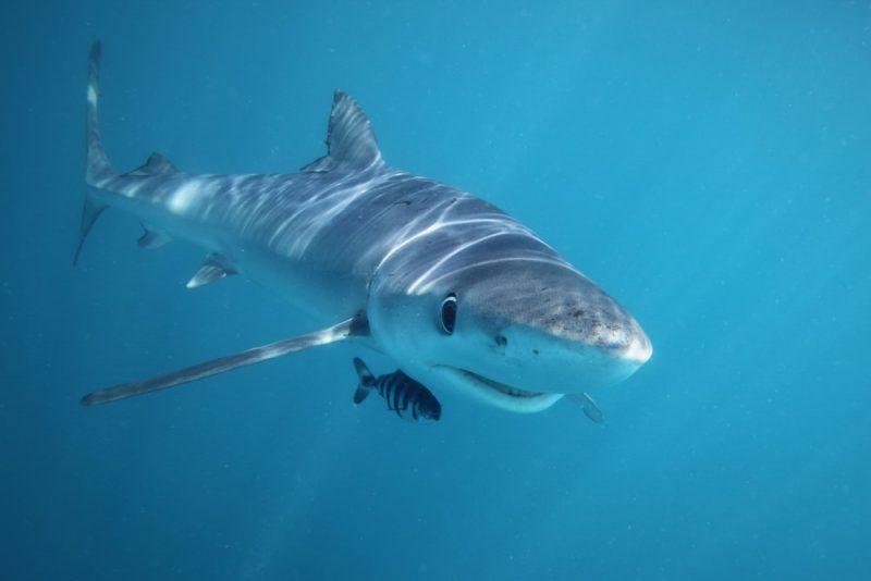 tiburón y pez piloto - coevolución