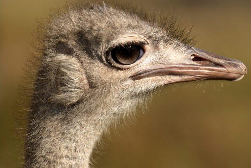 avestruz - omnivoro