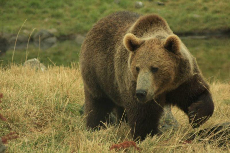 osos - hibernacion