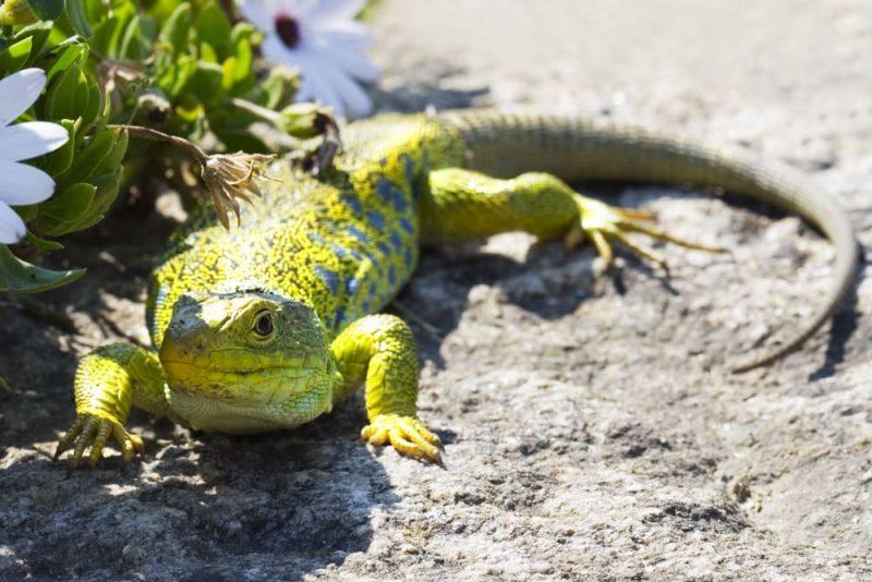 reptil al sol - homeostasis