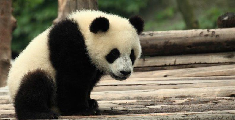 oso panda - en peligro de extincion
