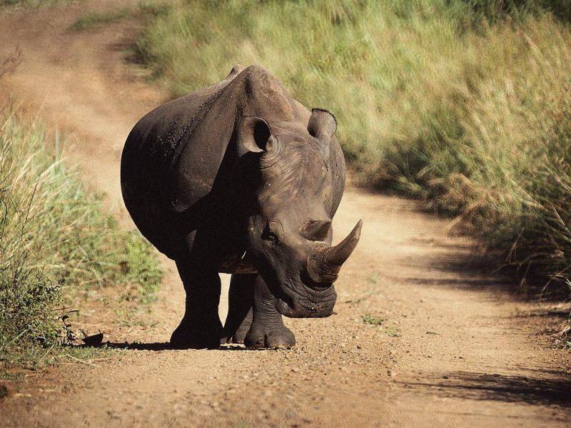 rinoceronte sondaicus java en extincion