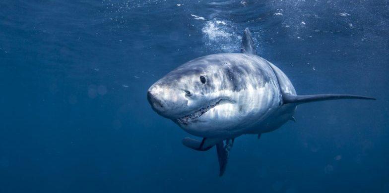 tiburon blanco - ovoviviparo