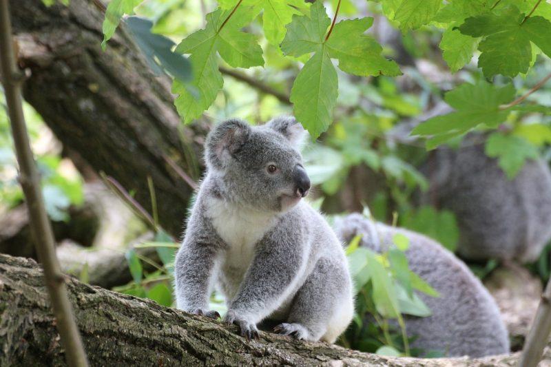 koala - marsupiales