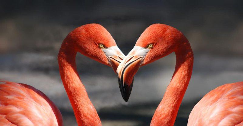 flamingo - cortejo animal