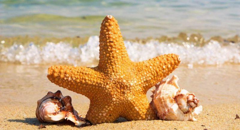 estrella de mar - equinodermo