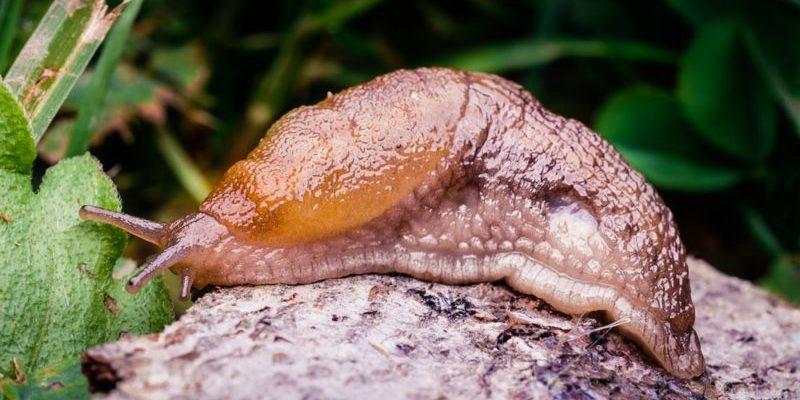 Moluscos - babosa